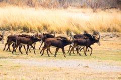Антилопы соболя в Mahango GR Стоковые Фотографии RF
