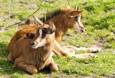 2 антилопы соболя Стоковая Фотография RF