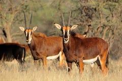 Антилопы соболя Стоковое Фото