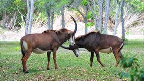 Антилопы соболя (Hippotragus Нигер) Стоковая Фотография