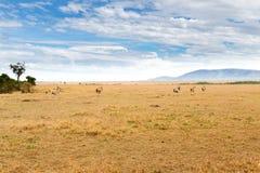 Антилопы Eland пася в саванне на Африке Стоковое Фото