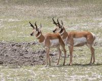 Антилопы Pronghorn Стоковое Фото
