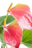 Антуриум Красивый цветок на светлой предпосылке Стоковые Изображения