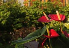 Антуриум цветков Стоковые Изображения