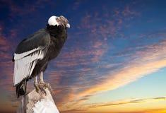 Андийский кондор против неба захода солнца Стоковое фото RF