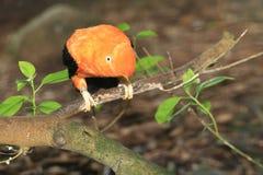 Андийский кран---утес стоковое фото
