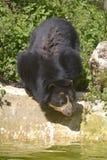 Андийский медведь около пруда Стоковая Фотография RF