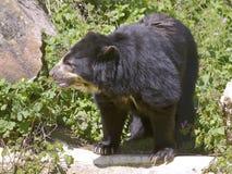 Андийский медведь среди вегетации Стоковая Фотография