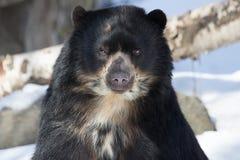 Андийский медведь стоковые изображения