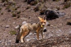 Андийский Fox (culpaeus Lycalopex) стоковое фото rf