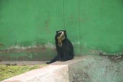 Андийский Spectacled медведь Стоковая Фотография
