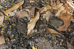 2 андийских жабы & x28; Spinulosa Wiegmann 1834& x29 Rhinella; сидите на сухих листьях Стоковые Фотографии RF