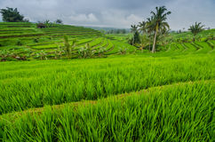 ландшафт Бали поля риса Стоковые Фото
