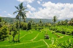 ландшафт с полями и ладонью риса Стоковые Фотографии RF