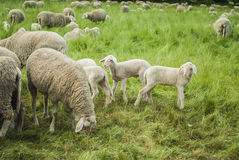 ландшафт фермы животных лето много sheeeps Стоковые Фото