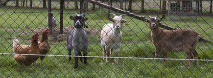 ландшафт фермы животных лето много sheeeps Стоковая Фотография