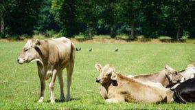 ландшафт фермы животных лето много sheeeps Стоковое Изображение RF