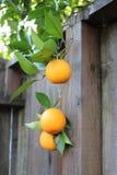 3 апельсина вися над стороной деревянной загородки Стоковое Фото