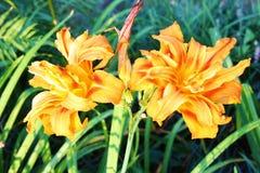 Апельсина цветок lilly стоковая фотография rf