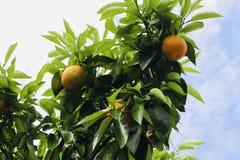 Апельсиновое дерево в плодах летнего времени стоковое изображение rf