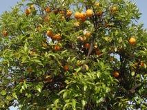 Апельсины растя в дереве стоковое изображение rf