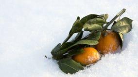 Апельсины с листьями в снеге Стоковое Фото