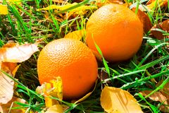 Апельсины упали на траву Апельсины среди листьев осени Стоковые Изображения RF