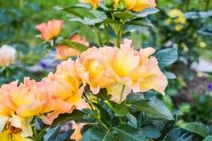 Апельсин-белые розы на зеленых стержнях стоковое фото rf