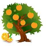 Апельсин дерева с плодоовощами и листьями зеленого цвета бесплатная иллюстрация