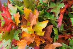 Апельсин, зеленый цвет, красная предпосылка листьев осени Стоковая Фотография RF