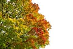 Апельсин изменения цвета кленового листа весны красный зеленый желтый на белой предпосылке Стоковое Изображение RF