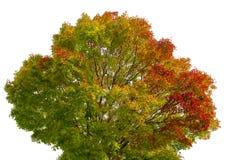 Апельсин изменения цвета кленового листа весны красный зеленый желтый на белой предпосылке Стоковая Фотография RF