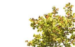 Апельсин изменения цвета кленового листа весны красный зеленый желтый на белой предпосылке файла с путем клиппирования Стоковые Изображения RF