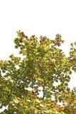 Апельсин изменения цвета кленового листа весны красный зеленый желтый на белой предпосылке файла с путем клиппирования Стоковое Изображение