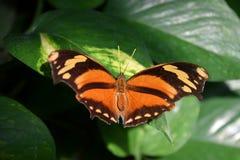 Апельсин-коричневая сделанная по образцу бабочка на зеленых лист с раскрытыми крылами Стоковые Изображения RF