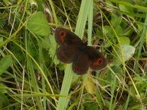 Апельсин коричневого цвета бабочки Ringlet в горах в зеленой траве стоковая фотография