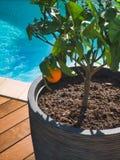 Апельсин на его дереве ветви стоковое изображение rf