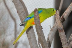 Апельсин-Bellied попугай Neophema Chrysogaster стоковое фото