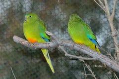 Апельсин-Bellied попугай Neophema Chrysogaster стоковые фото