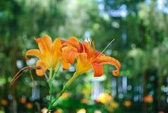 Апельсина предпосылка lilly Стоковое фото RF