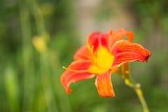 Апельсина цветок lilly Стоковое Изображение RF