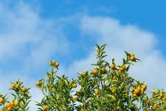 Апельсины вися дерево с облаком и голубым небом Стоковая Фотография RF