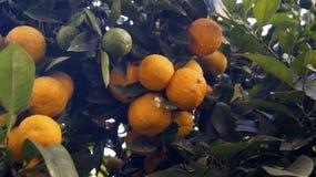 Апельсины в дереве Стоковое Изображение
