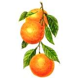 Апельсины на ветви при изолированные листья иллюстрация вектора