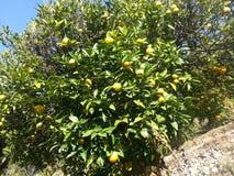 Апельсины Стоковое фото RF