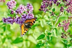 Апельсин бабочки на душице цветка Стоковое фото RF