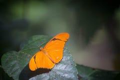 Апельсин вековечный Стоковое Изображение RF