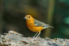 Апельсин возглавил птицу молочницы [citrina Zoothera] Стоковое Изображение RF