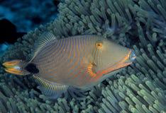 Апельсин-выровнянный Triggerfish, остров Sipadan, Сабах Стоковое Изображение RF