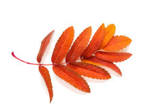 Апельсин выходит зола горы при изолированные пятна на белизну Стоковые Фото
